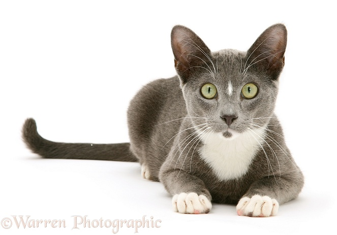 Blue-and-white Burmese-cross cat Levi lying head up, white background