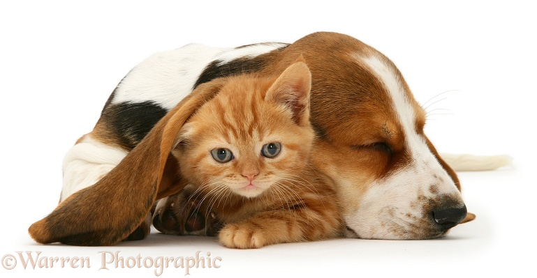 Ginger kitten under the ear of a sleeping Basset pup, white background