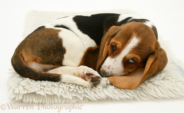 Sleepy Basset pup, white background