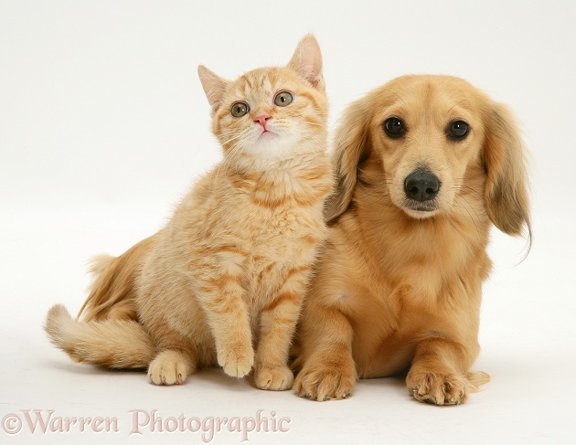 Cream kitten with cream dapple Dachshund, white background