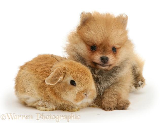 Pets: Pomeranian puppy and rabbit photo WP12725