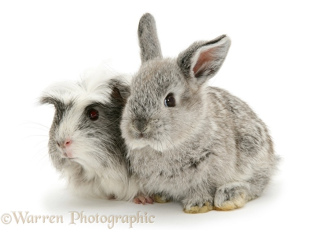 Baby silver Lop rabbit with silver-and-white Guinea pig, white background