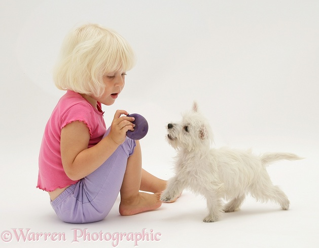 Siena playing with West Highland White Terrier pup, white background