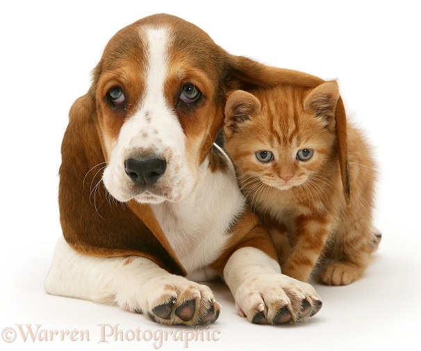 Ginger kitten under the ear of a Basset pup, white background