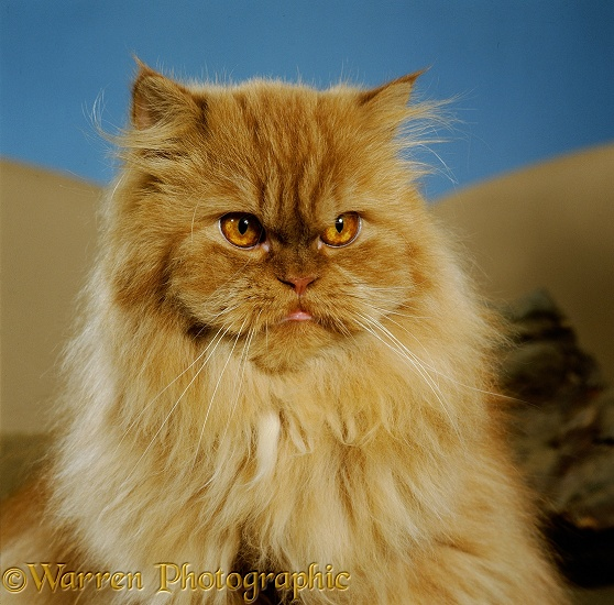 Red tabby Persian male cat photo WP12755