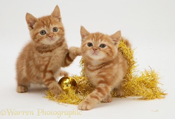 Red tabby kittens with tinsel, white background