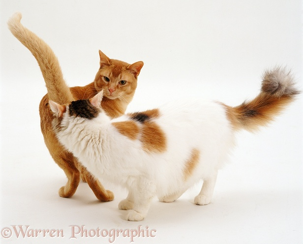Red Burmese male cat Ozzie and tortie-and-white female Alexandria sniffing one another in greeting, white background