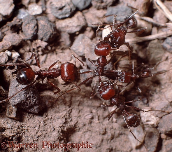 Harvester ants (Messor cephalotes) from neighbouring colonies engage in a skirmish.  Africa