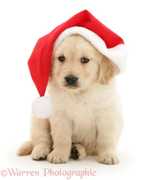 Dog Golden Retriever Pup Wearing A Santa Hat Photo Wp12798