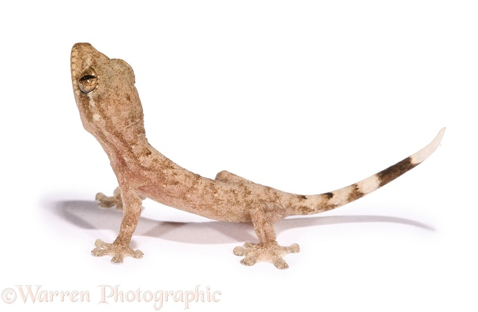 Tropical House Gecko (Hemidactylus mabouia) juvenile, recently hatched, white background