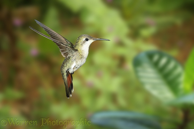 Ruby-topaz Hummingbird (Chrysolampis mosquitus) female hovering