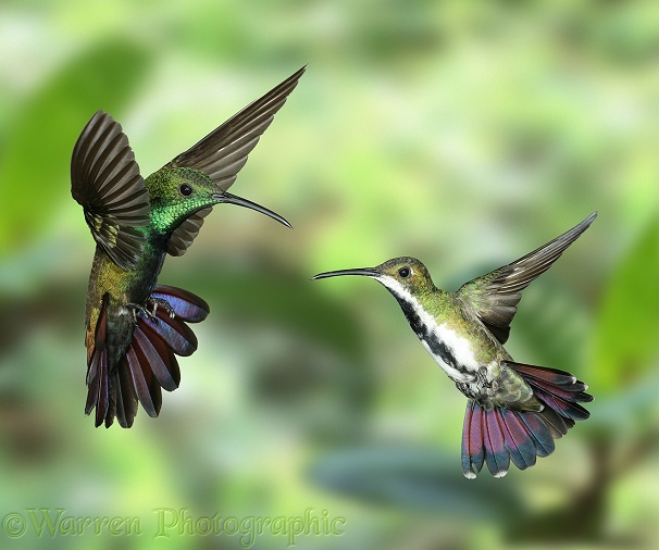 Black-throated Mango Hummingbird (Anthracothorax nigricollis) male and female.  South America