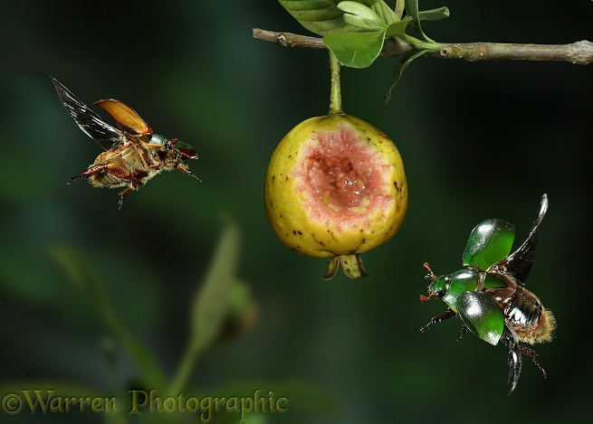 Green fruit beetles (Lamellicornia) homing in on a ripe guava.  South America