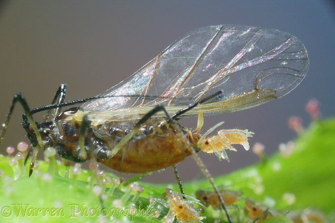 Rose Aphid (Macrosiphum rosae) winged female giving birth