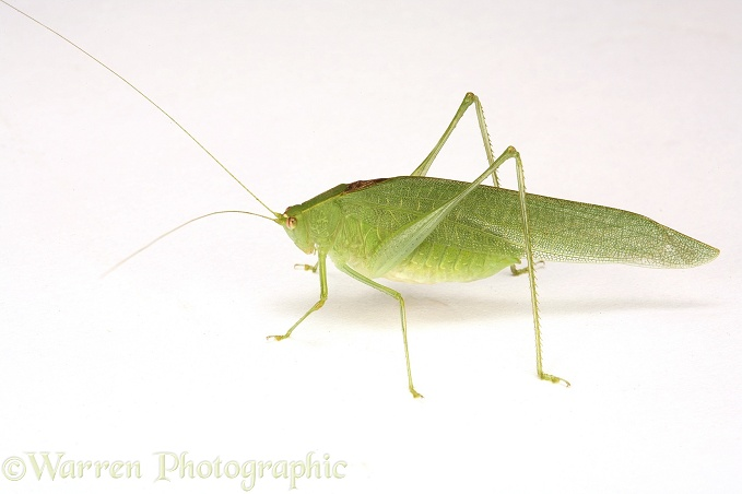 Katydid (unidentified), white background