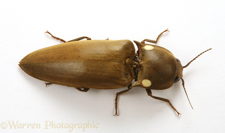 Tropical luminous click beetle (Pyrophorus species) showing luminescent spots on thorax.  South America, white background