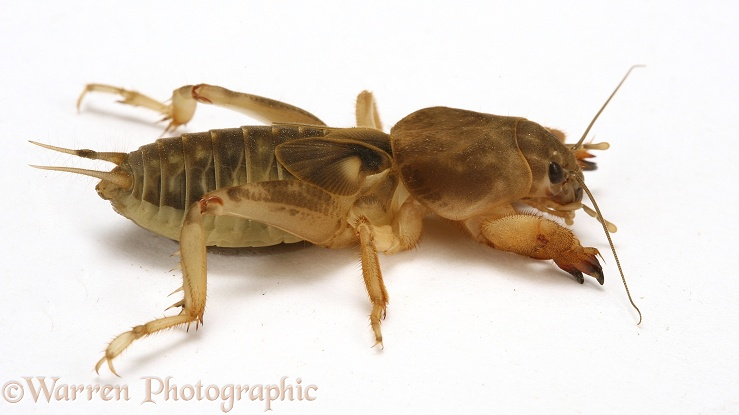 Mole cricket, white background