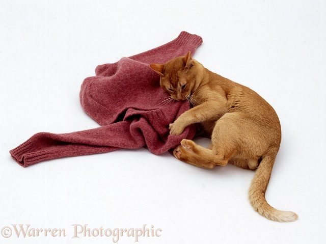 Red Burmese male cat Ozzie eating pink woollen jumper, white background