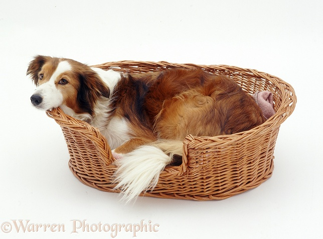 Sable Border Collie Lark, in her basket, looking as if she doesn't want to be disturbed, white background