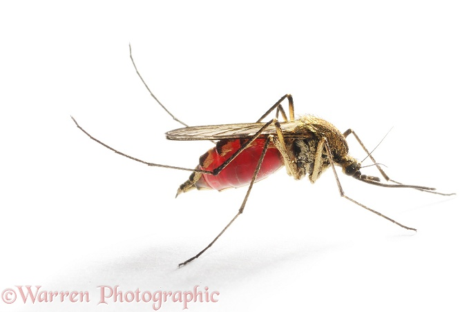 Mosquito (Aedes punctor) female resting after a blood meal, white background
