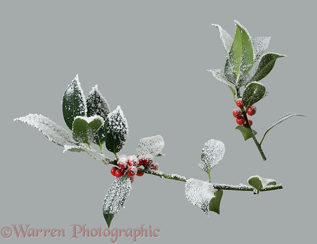'Frosted' holly berries