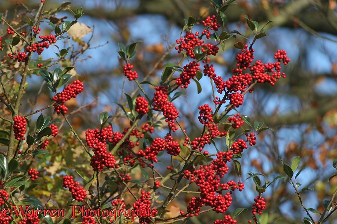 Holly (Ilex aquifolium) berries with autumn Beech behind