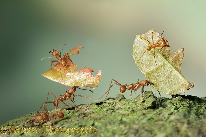 Leaf-cutting ants or Bachacs (Atta cephalotes) carrying sections of cocoa leaf bearing 'riders' thought to ward off parasitic flies which would otherwise lay their eggs on the pieces of leaf.  South America