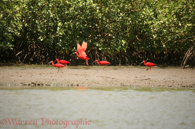 Scarlet Ibis (Eudocimus ruber) on mud flat in Mangrove.  South America