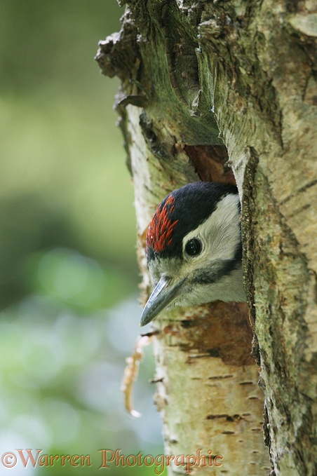 Great Spotted Woodpecker (Dendrocopos major) chick looking out of nest hole in dead birch.  Europe