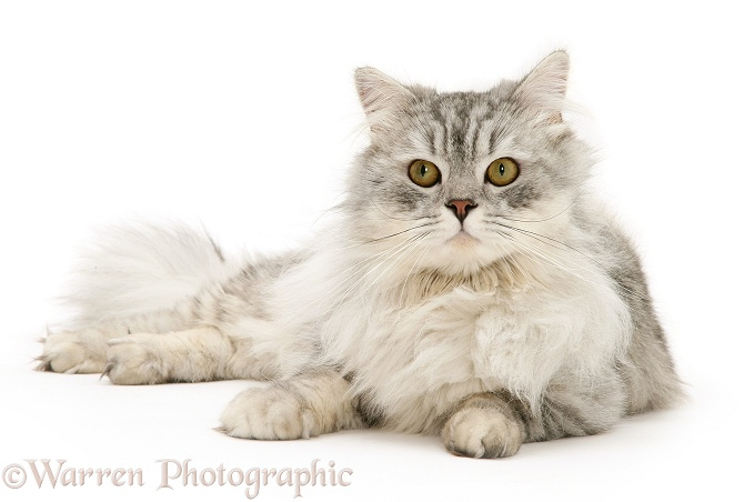Chinchilla Persian cat, Horace, white background