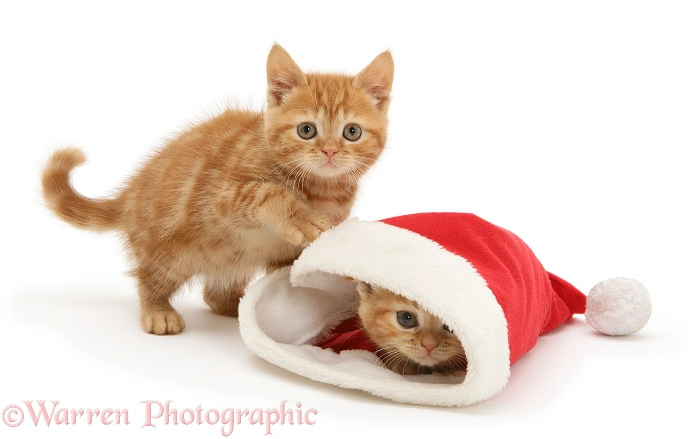 Red tabby kittens playing with a Father Christmas hat, white background