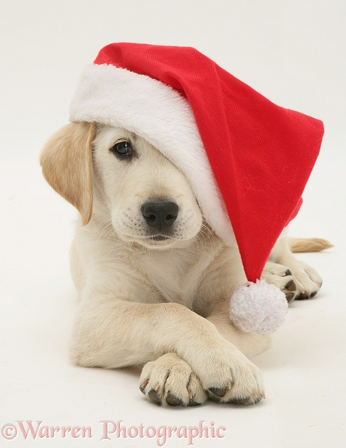 Retriever in a Santa hat, white background