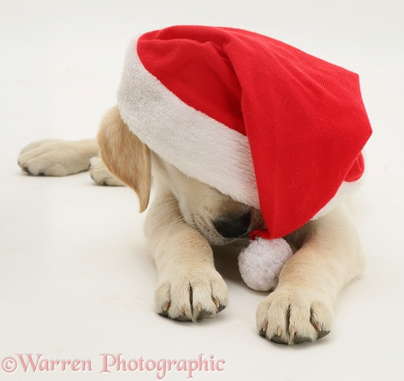 Golden Retriever pup wearing a Father Christmas hat, white background
