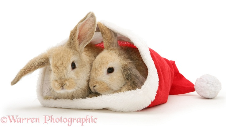 Wp13009 two sandy lop rabbits in a father christmas hat