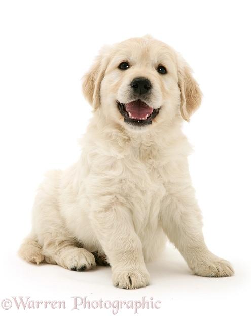 Dog Golden Retriever Puppy Sitting Photo Wp13013