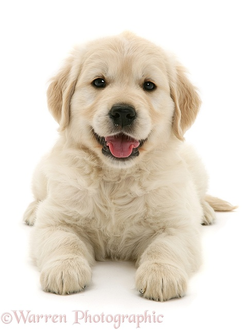 Golden Retriever puppy, white background