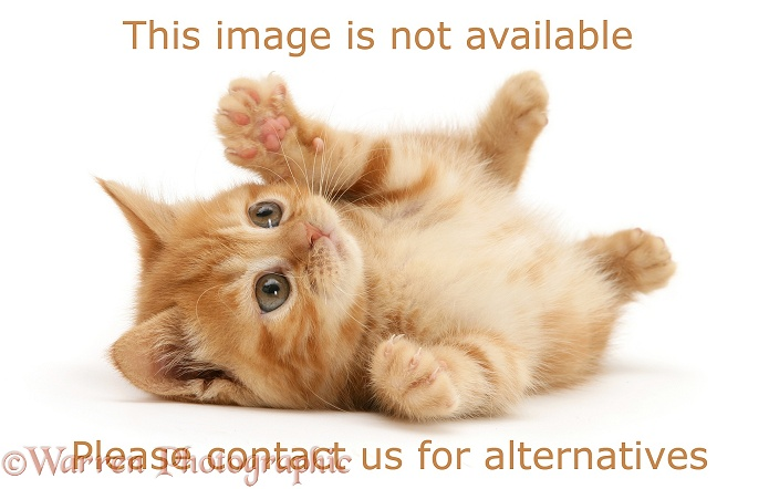 British shorthair red tabby kitten rolling over on its back, white background