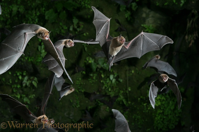 Davy's Naked-backed Bats (Pteronotus davyi) emerging at dusk from a vertical shaft of the limestone caves at Tamana, Trinidad