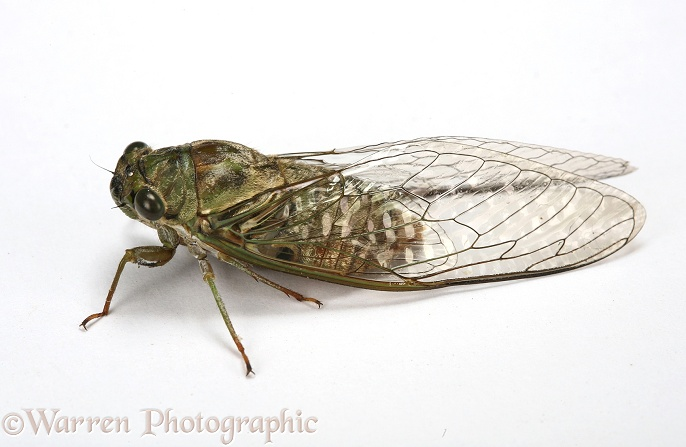 Cicada (unidentified), white background