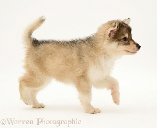 Utonagan puppy walking, white background