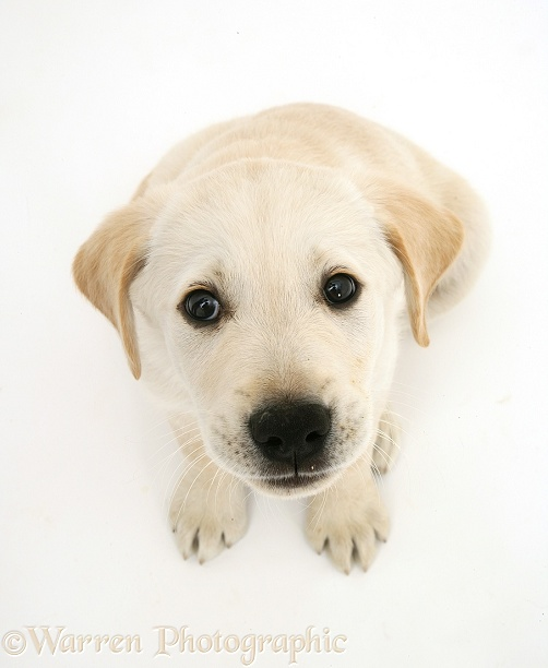 Retriever pup sitting looking up, white background