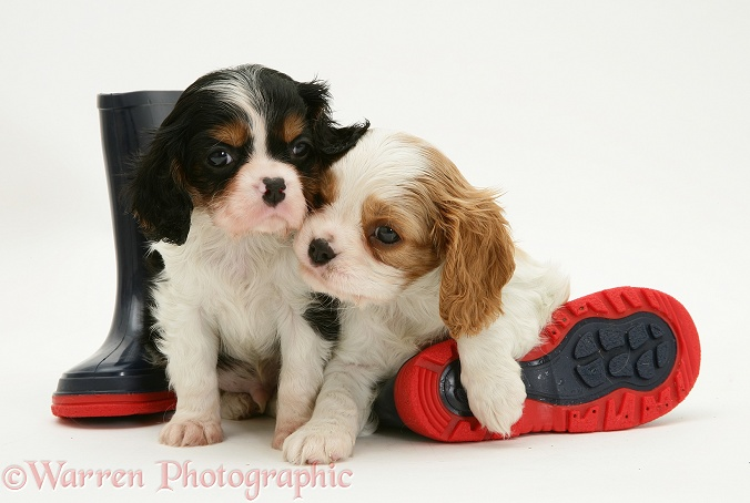 Tricolour and Blenheim Cavalier King Charles Spaniel pups with child's wellie boots