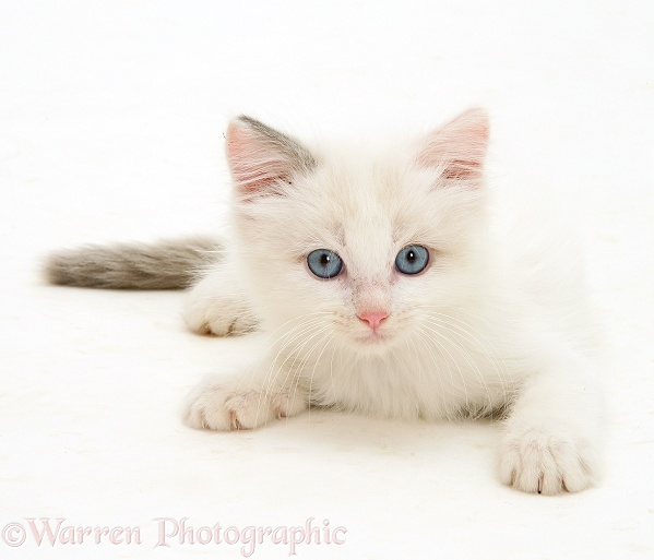 Blue-eyed Ragdoll kitten, white background
