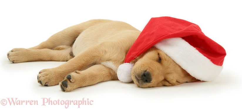 Yellow Labrador Retriever pup asleep wearing a Father Christmas hat, white background
