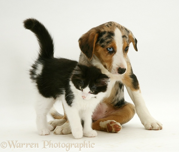Black-and-white Nancy kitten with merle Border Collie pup Kylie, 8 weeks old, white background