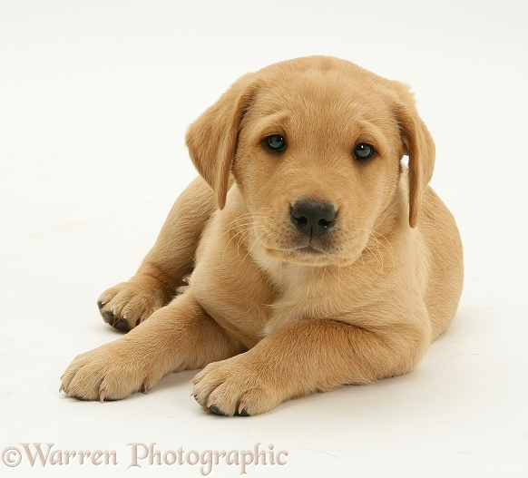 Labrador puppy lying with head up, white background