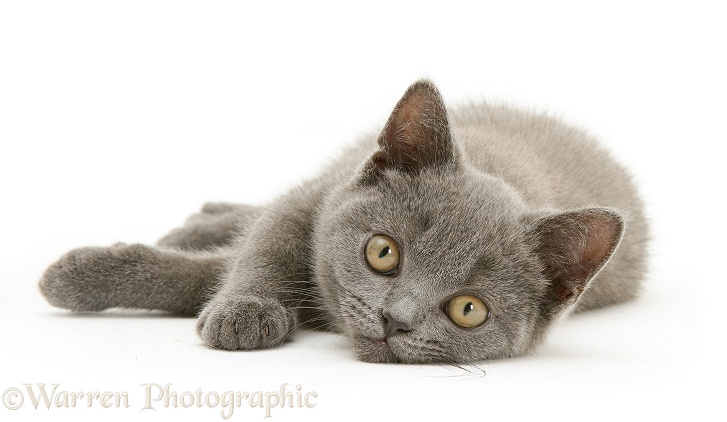 British Shorthair blue kitten Taz, white background