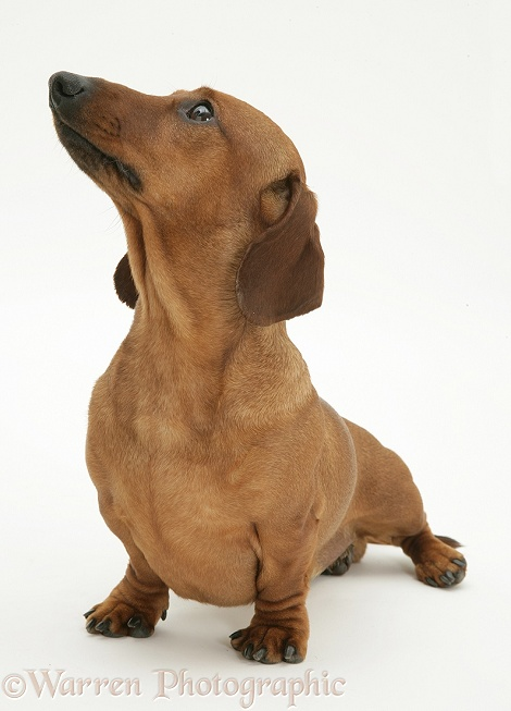 Red smooth-haired Miniature Dachshund bitch, standing, looking up, white background