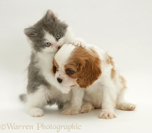 Cavalier King Charles Spaniel puppy with grey-and-white kitten, white background