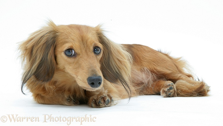 Dachshund lying down, white background